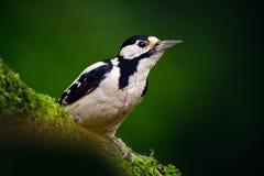 Большой запятнанный Woodpecker, портрет конца-вверх детали головы птицы с красной крышкой, черно-белым животным в среду обитания  стоковое изображение rf
