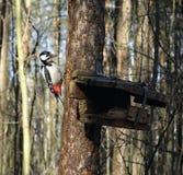 Большой запятнанный Woodpecker Стоковая Фотография RF