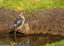 Большой запятнанный Woodpecker стоковая фотография