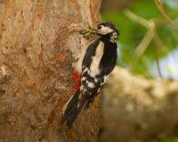 большой запятнанный woodpecker Стоковое Изображение RF