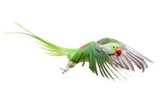 Большой зеленый длиннохвостый попугай окружённого или Alexandrine на белизне Стоковые Фото