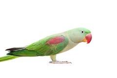 Большой зеленый длиннохвостый попугай окружённого или Alexandrine на белизне Стоковое Фото