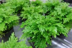 Большой зеленый куст папоротника Стоковое Фото