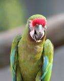 Большой зеленый портрет ары Стоковое фото RF