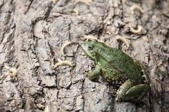 большой зеленый цвет лягушки Стоковое Изображение