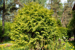 большой зеленый цвет bush Стоковые Изображения RF