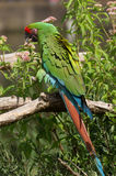 большой зеленый macaw Стоковая Фотография RF