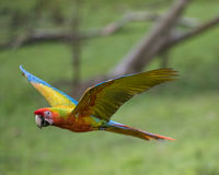 большой зеленый macaw Стоковые Фото