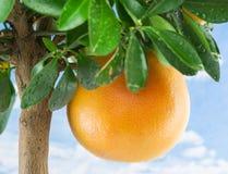 Большой зрелый грейпфрут на дереве Стоковое фото RF