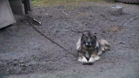 Большой злий сторожевой пес на цепи вокруг будочки и охраняемая территория сток-видео