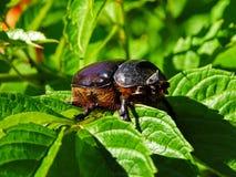 Большой здоровенный черный жук, большой жук скарабея сидит на зеленых листьях Стоковые Фотографии RF
