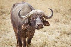 Большой индийский буйвол Стоковое Изображение