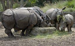 Большой индийский носорог 1 Стоковая Фотография