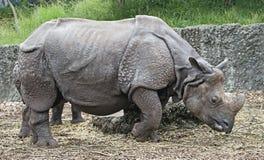 Большой индийский носорог 14 Стоковое фото RF