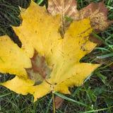 Большой и малый кленовый лист Стоковая Фотография RF