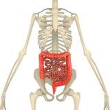 Большой и тонкая кишка с каркасным телом Стоковые Изображения RF
