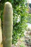 Большой кактус от сада Стоковая Фотография