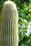 Большой кактус от сада Стоковое фото RF
