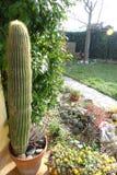 Большой кактус от сада Стоковые Фото