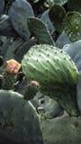 большой кактус Стоковая Фотография RF