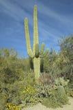 Большой кактус saguaro весной в национальном парке западном, Tucson Saguaro, AZ стоковое фото