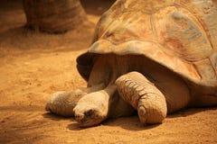 Большой конец черепахи вверх Стоковая Фотография RF