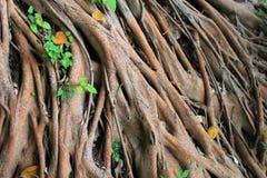 Большой корень дерева на внешнем Стоковое Изображение RF