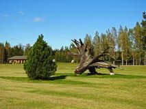 Большой корень дерева на зеленой траве Стоковые Фото