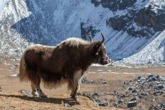 Большой коричневый як непальца с белым кабелем смотрит в Стоковое фото RF