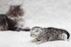 Большой кот енота Мейна представляя на белом мехе предпосылки Стоковая Фотография