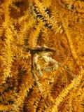 Большой краб коралла провода Стоковая Фотография RF