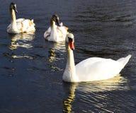 Большой красивый лебедь 3 Стоковые Фото