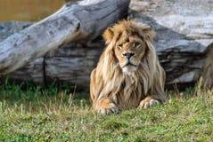 Большой красивый лев Стоковое Изображение