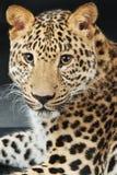 Большой красивый леопард Стоковое фото RF
