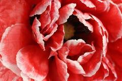 Большой красный бутон мака Стоковое Изображение