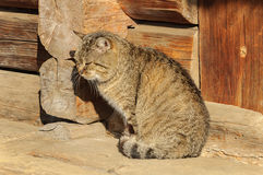 Большой красный кот на двери Стоковая Фотография RF
