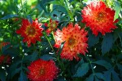Большой красный цветок георгина Стоковые Изображения RF