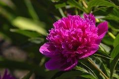 Большой красный цветок пиона заполнил с лепестками Стоковое Фото