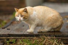 Большой красный цвет рассеянный кот outdoors Природа Стоковое Изображение RF