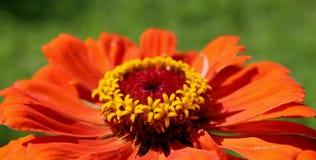 большой красный цвет цветка Стоковая Фотография