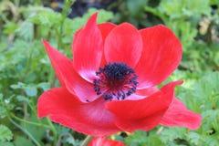 большой красный цвет цветка стоковые фото