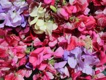 Большой красочный выбор цветков сладостного гороха Стоковые Фото