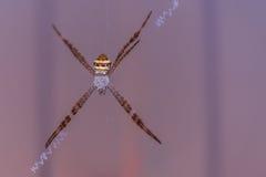 Большой красочный паук в сети Стоковое фото RF