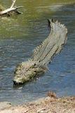 Большой крокодил соленой воды Стоковое фото RF