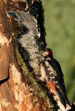 Большой майор Dendrocopos Woodpecker Spootted Стоковая Фотография