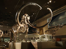 Большой мамонтовый скелет в музее с backlight стоковые фотографии rf
