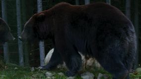 Большой медведь 3 идя в древесины видеоматериал