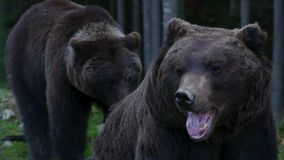 Большой медведь 2 идя в древесины видеоматериал