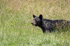 большой медведя черный Стоковые Фото
