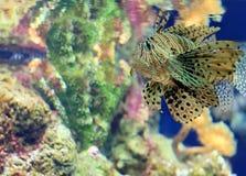 Большой морской окунь тигра под морской водой Стоковое Изображение